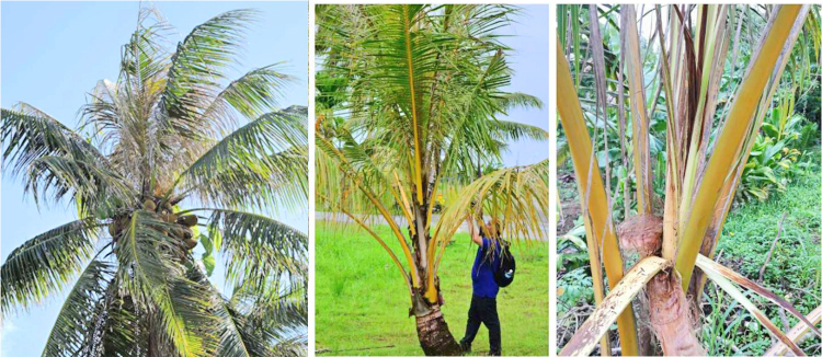 Pests of Coconut trees in FSM